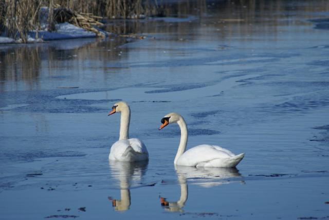 The less you know about swans, the more beautiful they are. A pair of the gorgeous birds in a New England waterway similar to my local cove in East Greenwich, RI.